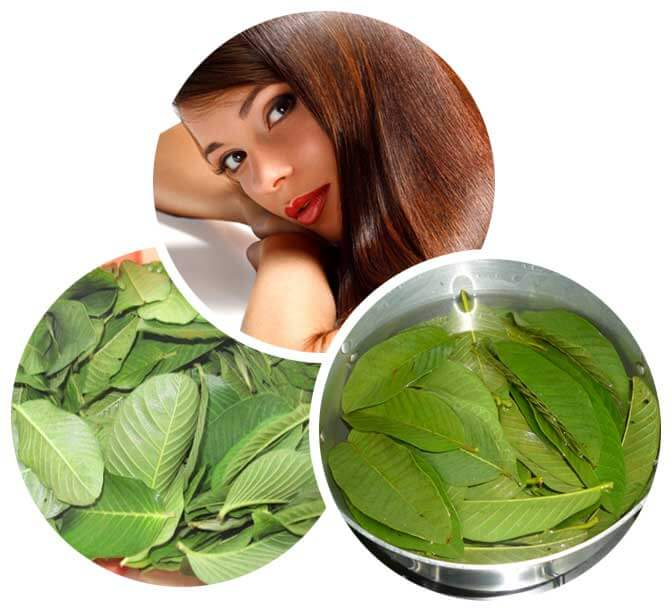 Use Guava Leaves for Hair Fall Treatment and Fight Hair Fall Naturally